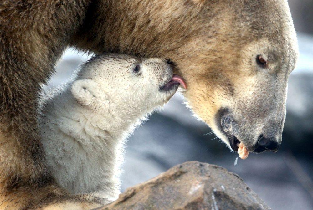 Avusturya'da yavru kutup ayısı ilk defa görüntülendi - Sayfa 2