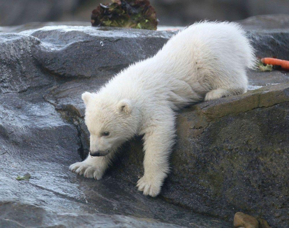 Avusturya'da yavru kutup ayısı ilk defa görüntülendi - Sayfa 3