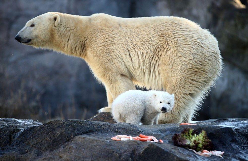 3 ay önce doğan kutup ayısı ilk kez görüntülendi - Sayfa 3