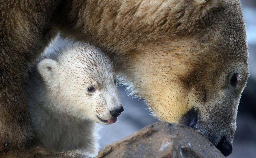 3 ay önce doğan kutup ayısı ilk kez görüntülendi - Sayfa 1