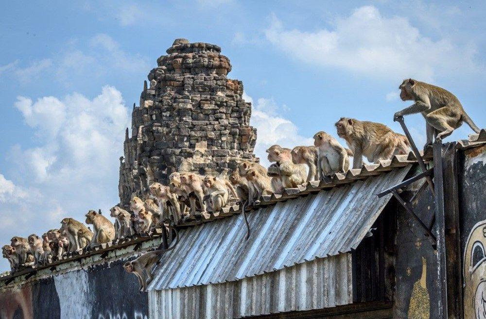 Salgının etkisinde maymunlar şehri ele geçirdi! İşte o inanılmaz görüntüler - Sayfa 1