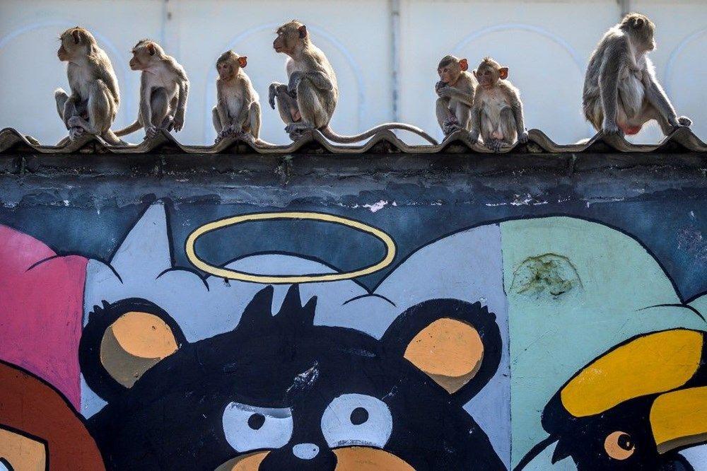 Salgının etkisinde maymunlar şehri ele geçirdi! İşte o inanılmaz görüntüler - Sayfa 2