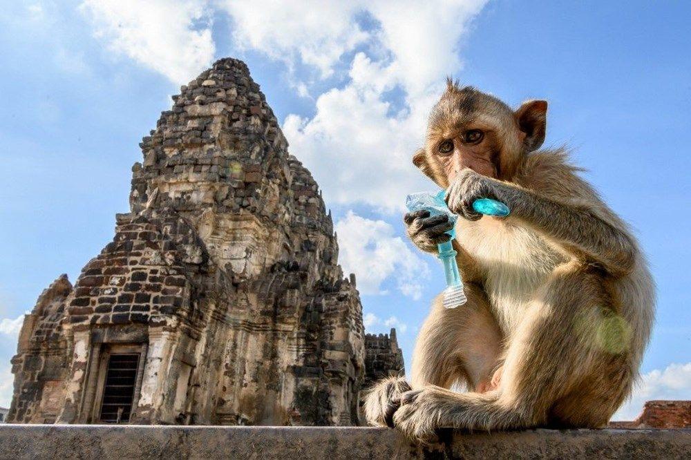 Salgının etkisinde maymunlar şehri ele geçirdi! İşte o inanılmaz görüntüler - Sayfa 4