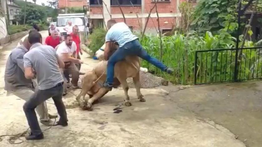 Boğa boynuzlarını tutan şahsı savurarak rodeo gösterilerini aratmadı