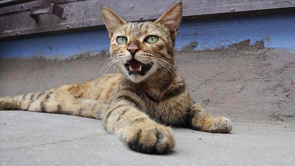 Koronavirüs tahmin edilenden daha fazla kediye bulaşmış - Sayfa 3