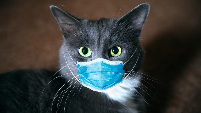 Koronavirüs tahmin edilenden daha fazla kediye bulaşmış
