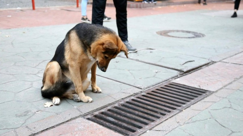 Bu köpek her gün bu mazgalları izliyordu... Sırrı ortaya çıktı