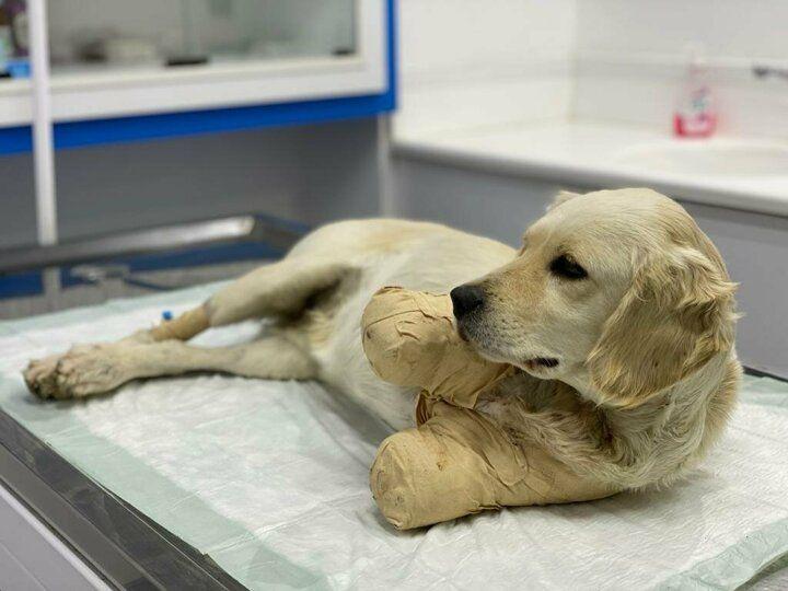 Patileri kesilen Pamuk adlı yavru köpekten güzel haber geldi - Sayfa 1