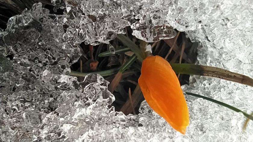 Baharın müjdecisi çiğdem ve kar bir arada!