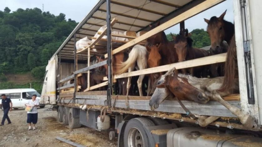 Artvin'de tırın dorsesindeki hasta ve ölü atları böyle taşıdılar!