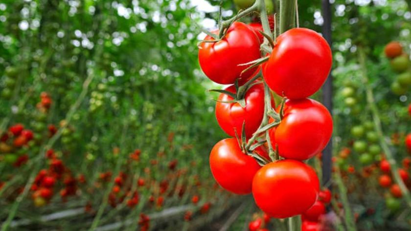 Rusya, Türkiye'den domates ile biber ithalatı yasağını kaldırdı