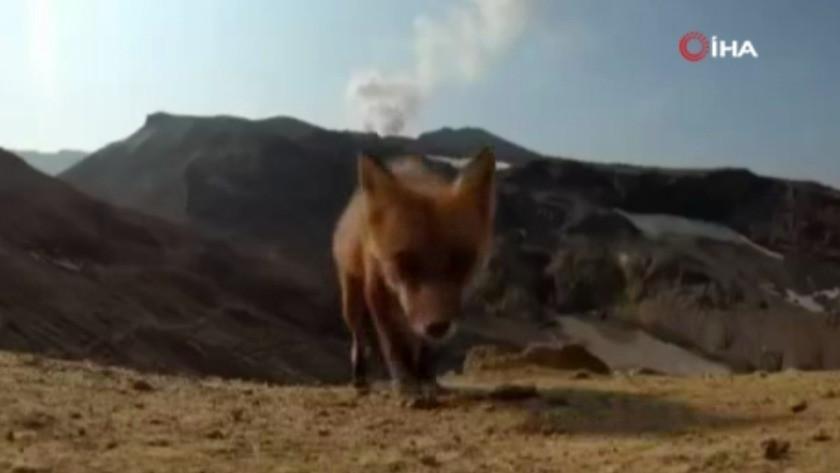 Tilki, yanardağın çekimini yapan kamerayı çaldı