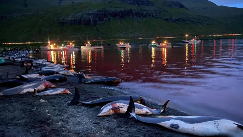Faroe Adaları'ndaki festivalde yunus ve balina katliamı! İşte o festivalden tepki çeken görüntüler