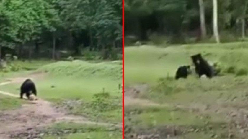 Sahaya girip futbol topuyla oynayan ayılar viral oldu! İşte o anlar...